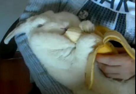 Un iepure gras mananca o banana