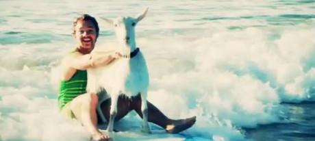 Pana si caprele fac surf