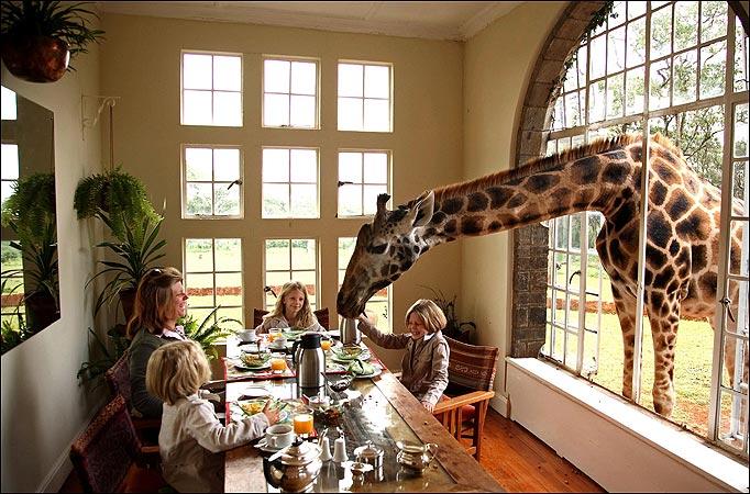 Convietuind cu girafele. Hotelul care iti ofera sansa sa stai la cafea cu o girafa